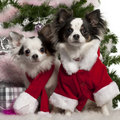 Chihuahua, wearing Santa outfit with Christmas Stock Photos