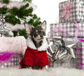Chihuahua, wearing Santa outfit with Christmas Stock Images