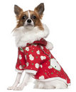 Chihuahua wearing winter outfit, 2 years old Royalty Free Stock Images