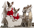 Chihuahuas, 1 year old, in Christmas sleigh Stock Photography