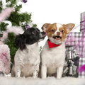 Chihuahuas, 6 years old, Chihuahua, 18 months Royalty Free Stock Photography