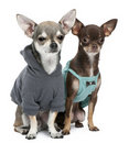 Chihuahuas dressed up Stock Image