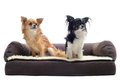 Chihuahuas on sofa Royalty Free Stock Photos