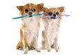 Chihuahuas and toothbrush Stock Photos