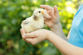 Chiken in child's hand care nature outdoor Royalty Free Stock Photo