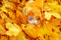 Child in autumn leaves. Face in maple leaves. Royalty Free Stock Photo