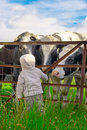Child and Cows Stock Photo