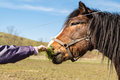 Child hand feeding horse of brown standing in an enclosure on a sunny day Stock Image