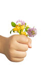 Child hand holding flowers isolated white useful as spring mother s day greeting card clipping path included Royalty Free Stock Images