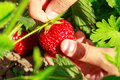 Child hand picks ripe strawberries in the garden close up Stock Image