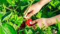 Child hand picks ripe strawberries in the garden close up Stock Photos