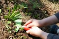 Child hands removing weed in garden with toy shovel green blade and red ladybug like handle black dots Stock Images