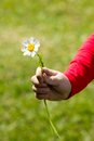 A child holding a daisy in his hand against the background of green grass Stock Photography