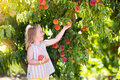 Child picking and eating peach from fruit tree Royalty Free Stock Photo
