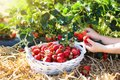 Kids pick strawberry on berry field in summer Royalty Free Stock Photo