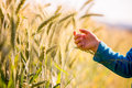 Child reaching out to touch young wheat ears of ripening in a field glowing in the early morning light in a conceptual image Royalty Free Stock Image