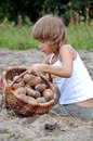 Child reaping potatoes in the field Royalty Free Stock Photo