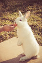 Child s hand feeding a little rabbit girl with carrot Stock Image