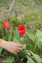 A child`s hand picks a red Tulip Royalty Free Stock Photo