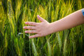Child`s hand touching green ears of wheat at sunset Royalty Free Stock Photo