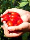 Child's hands with the Red freshly picked tomatoes in summer Royalty Free Stock Photo
