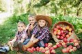Children with Apple in the Apple Orchard. Child Eating Organic Apple in the Orchard. Harvest Concept. Garden, Toddler eating fruit Royalty Free Stock Photo