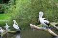 Chile pelicans in natural environment the Stock Photo