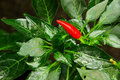 Chile pepper Royalty Free Stock Photo