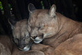Chilean cougar x puma concolor x also known as the wildlife animal Royalty Free Stock Photography