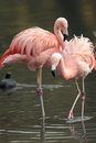 Chilean flamingo view of flamingos standing in water Royalty Free Stock Image