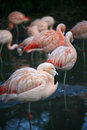 Chilean Flamingos Royalty Free Stock Photography