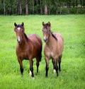 Chilean horse yearlings the breed is noted for is small sturdy stature these horses are used for working stock inside of corrals Stock Photo