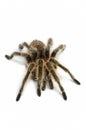 Chilean rose tarantula Royalty Free Stock Photo