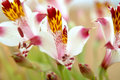 Chilean wild lily Stock Photos