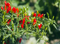 Chili hot peppers plant in the garden Stock Photos