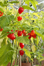 Chili plant Royalty Free Stock Photo