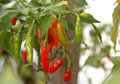 Chily tree, chilly plant, pepper plant Royalty Free Stock Photo