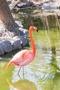 Chilian flamingo on pond nature background. Royalty Free Stock Photo