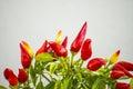 Chilis at a plant Royalty Free Stock Photo