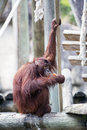 A chilled orangutan sat eating fruit while keeping watchful eye on things Stock Photo