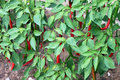 Chilli pepper bush Royalty Free Stock Photography