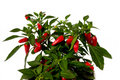 Chilli plant Royalty Free Stock Image