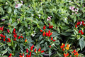 Chilli plant for decoration Royalty Free Stock Photo