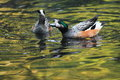 Chiloe wigeon the couple of wigeons in water Stock Photography