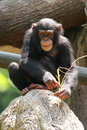 Chimp Royalty Free Stock Photo