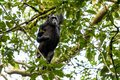 A chimp is climbing a tree in the Kibale forest Royalty Free Stock Photo