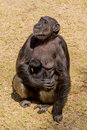 Chimp a female adult sitting down and cuddling her baby Royalty Free Stock Image