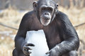 Chimp with ice a female eats a piece of Royalty Free Stock Photos