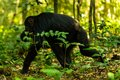 A chimp moving through the Kibale forest Royalty Free Stock Photo