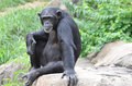 Chimp on a rock young female sits Stock Images